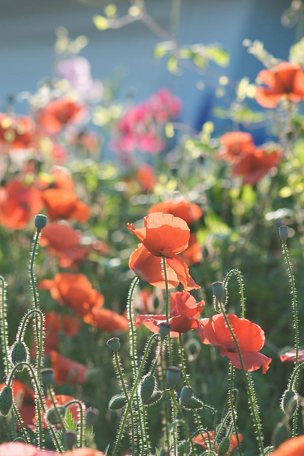 Evening Lights The Poppies Photograph  - Evening Lights The Poppies Fine Art Print