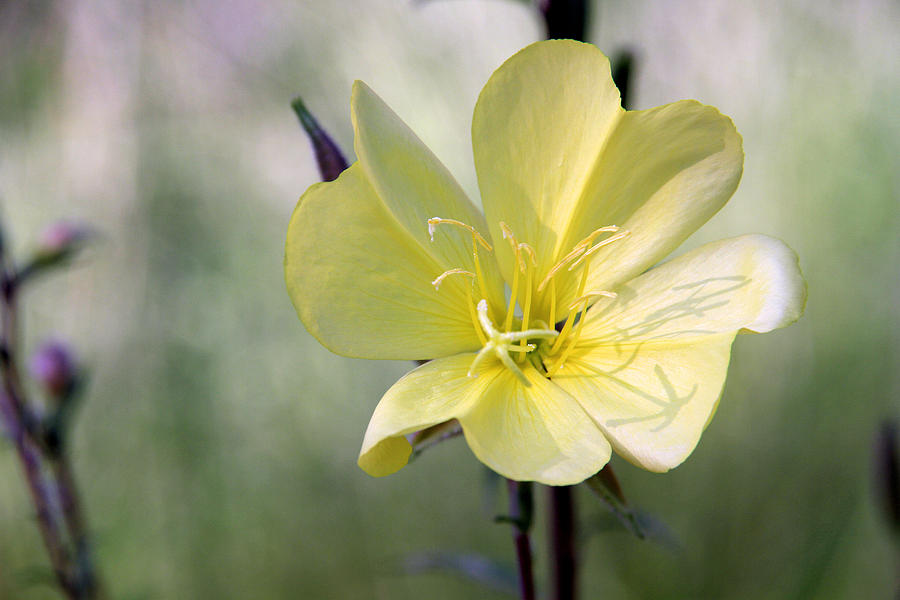 Evening Primrose In The Morning Photograph  - Evening Primrose In The Morning Fine Art Print