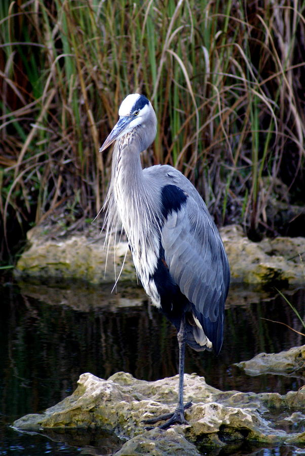 Everglades Heron Photograph