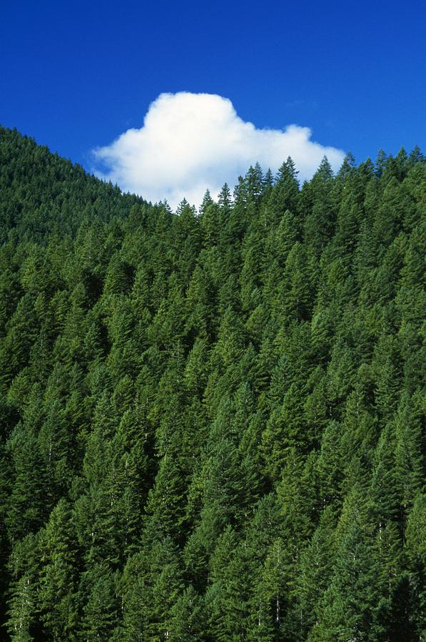 Evergreen Forest Photograph By Natural Selection Craig Tuttle