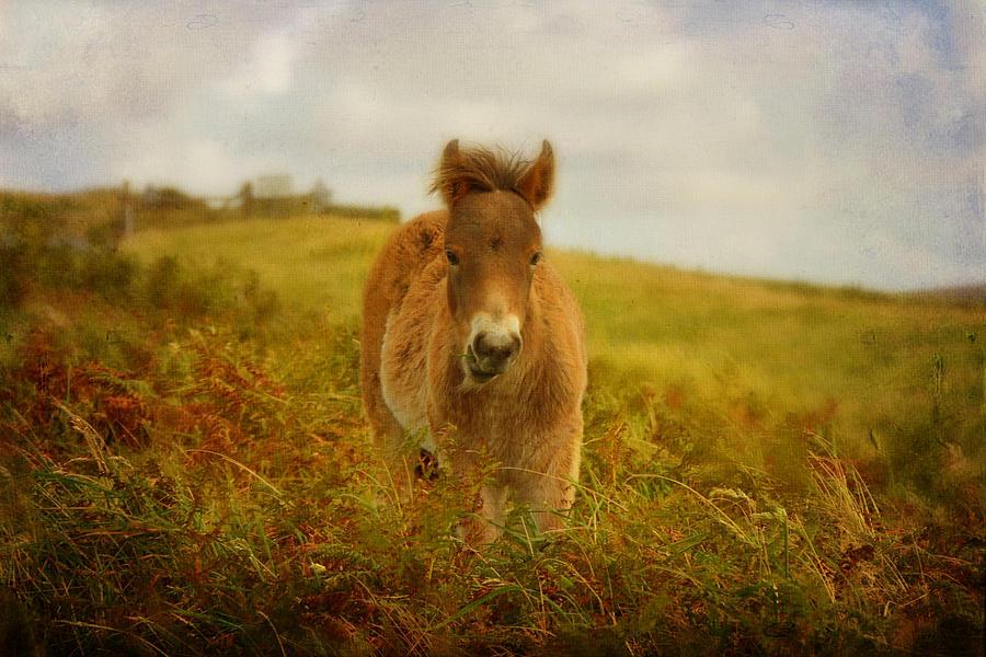 Exmoor Wild Pony Photograph