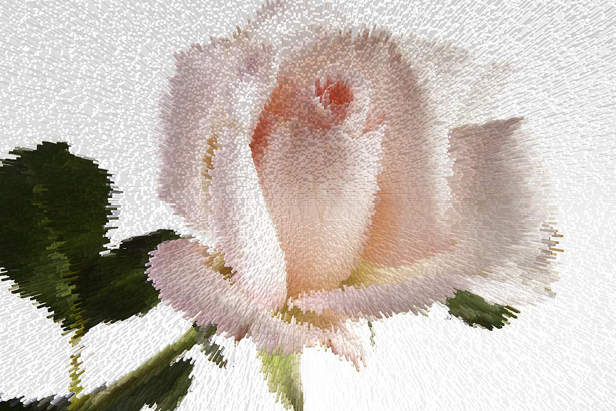 Exploding Pink Rose Photograph