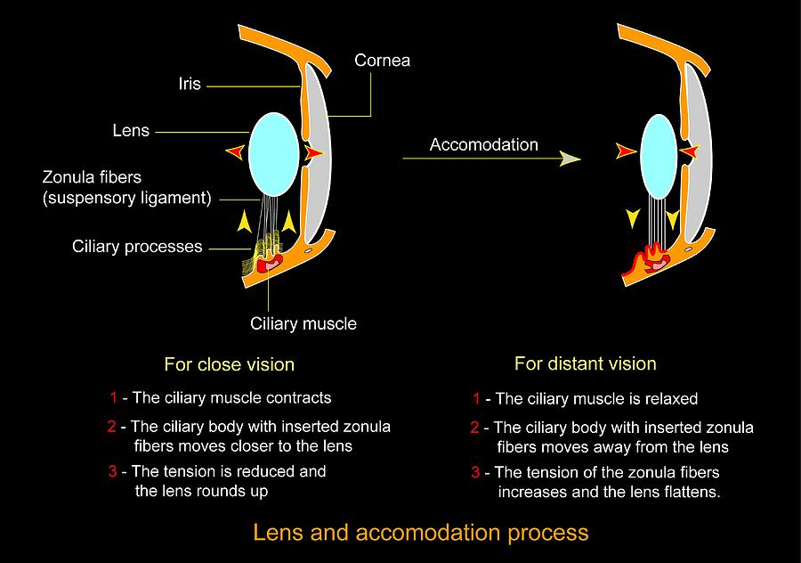 Eye Lens And Accommodation, Diagram Photograph