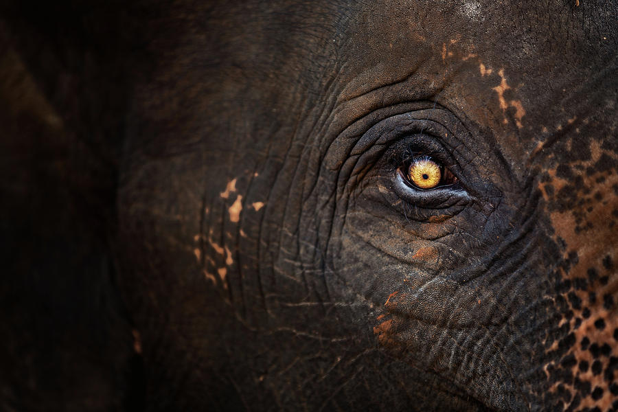 Eye Of Thai Elephant Photograph  - Eye Of Thai Elephant Fine Art Print