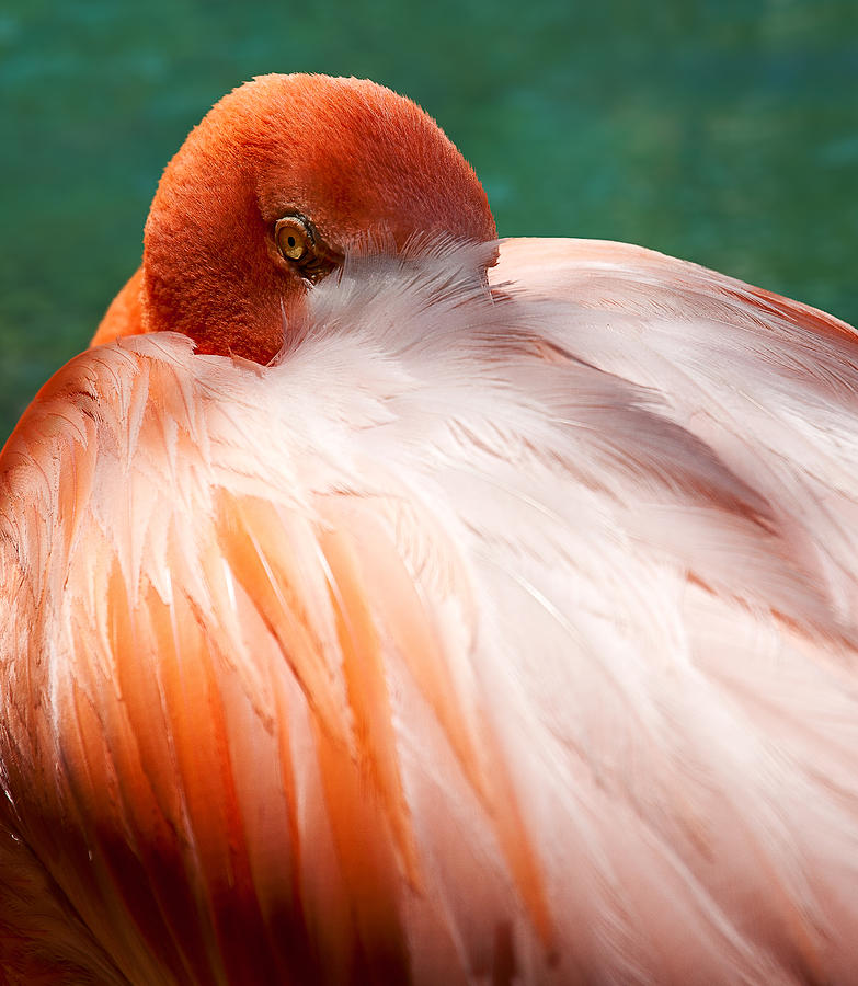 Eye Of The Flamingo Photograph  - Eye Of The Flamingo Fine Art Print