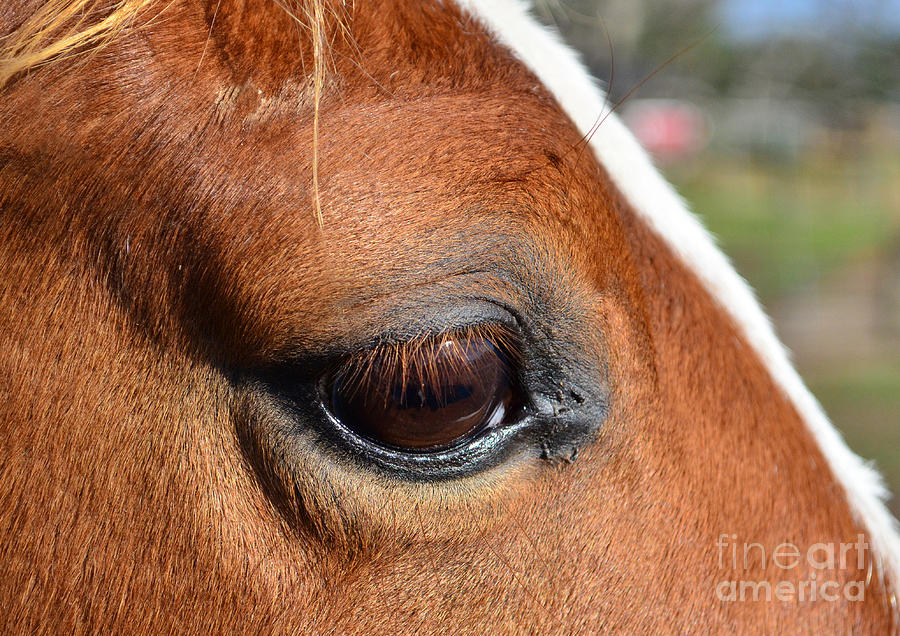 Eye Of The Horse Photograph