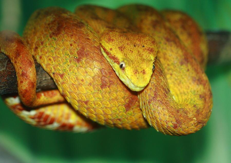 Blue eyelash viper - photo#21
