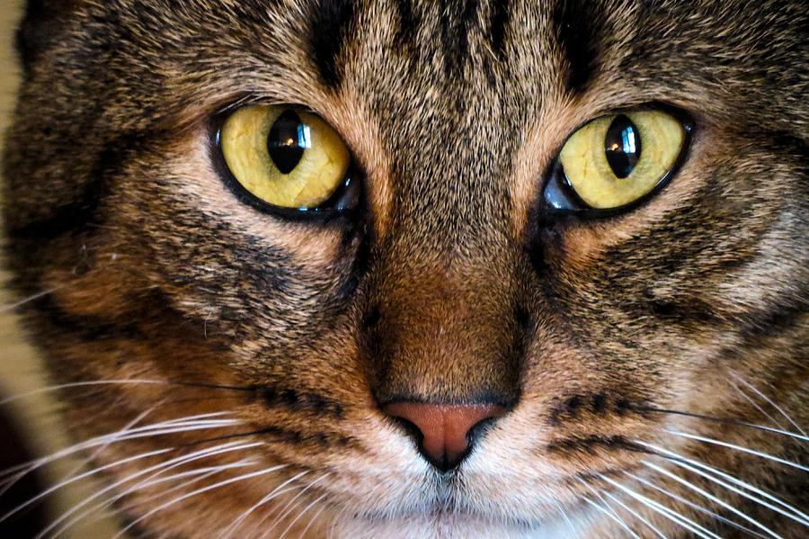 Cat Photograph - Face Framed Feline by Art Dingo