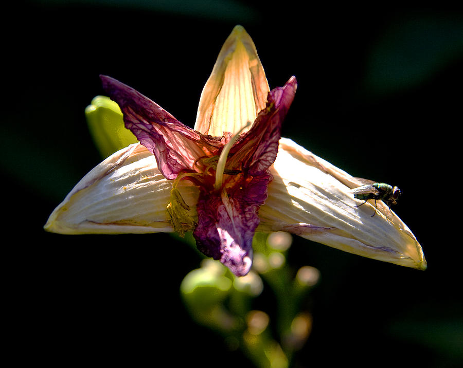 Faded Lily Photograph  - Faded Lily Fine Art Print