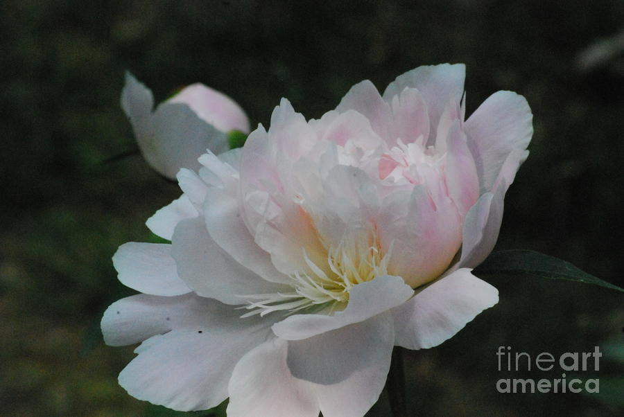Fairy Tale Bloom Photograph  - Fairy Tale Bloom Fine Art Print