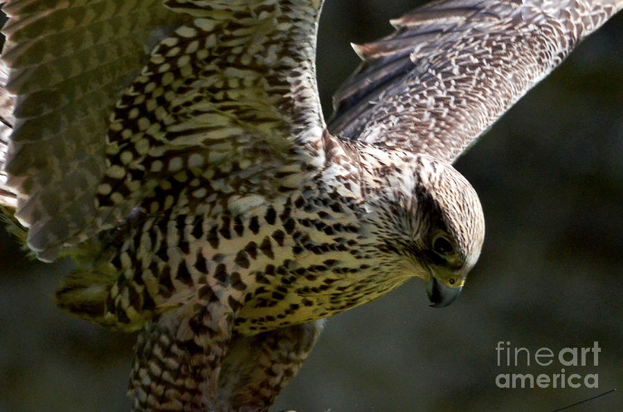 Falcon Taking Off Digital Art  - Falcon Taking Off Fine Art Print