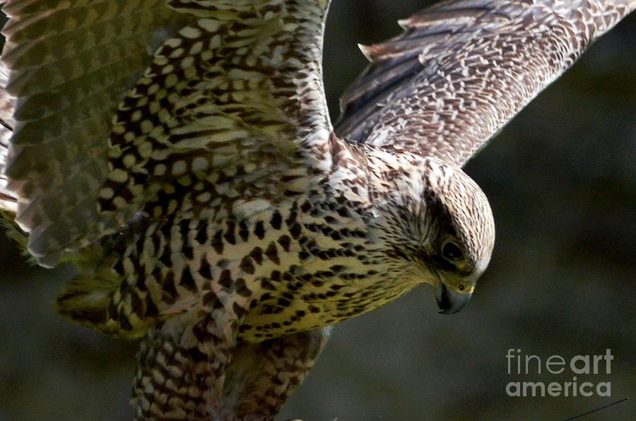 Falcon Taking Off Digital Art