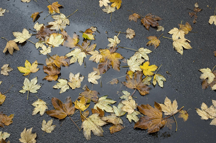 Fall - Autumn Foliage On Wet Asphalt Photograph