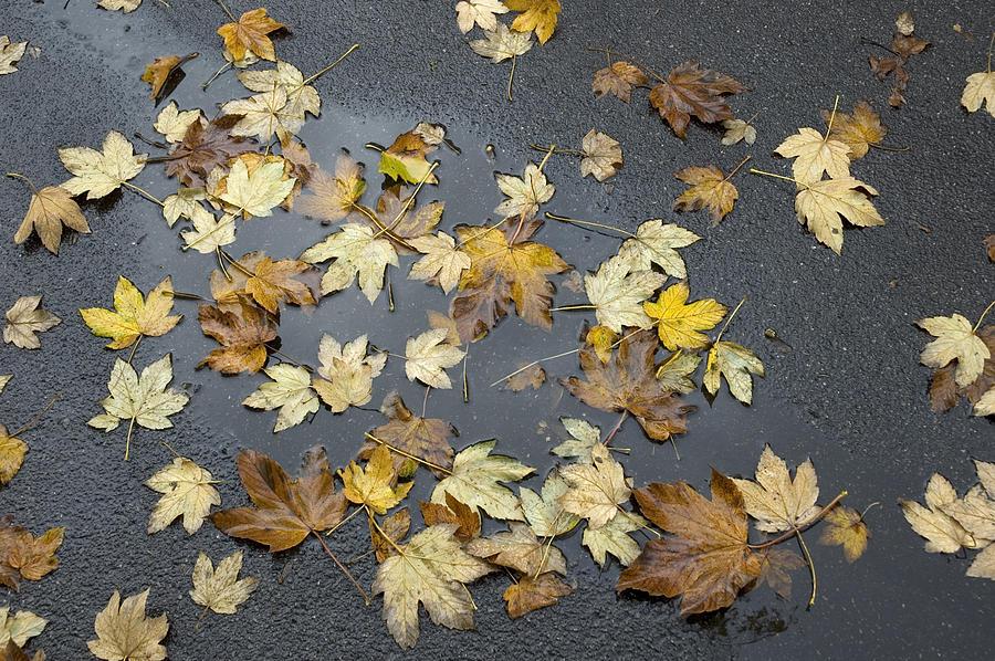 Fall - Autumn Foliage On Wet Asphalt Photograph