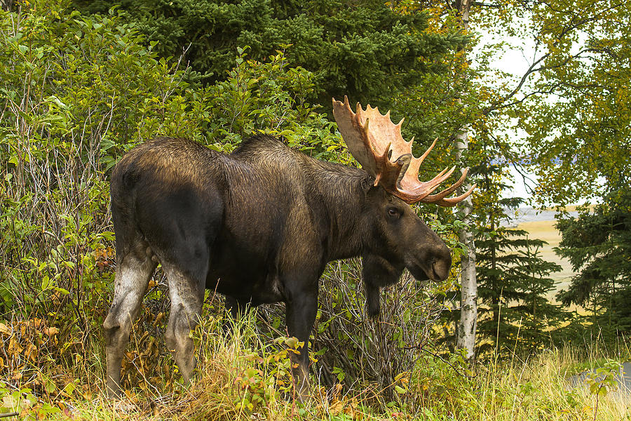 Fall Bull Moose Photograph  - Fall Bull Moose Fine Art Print