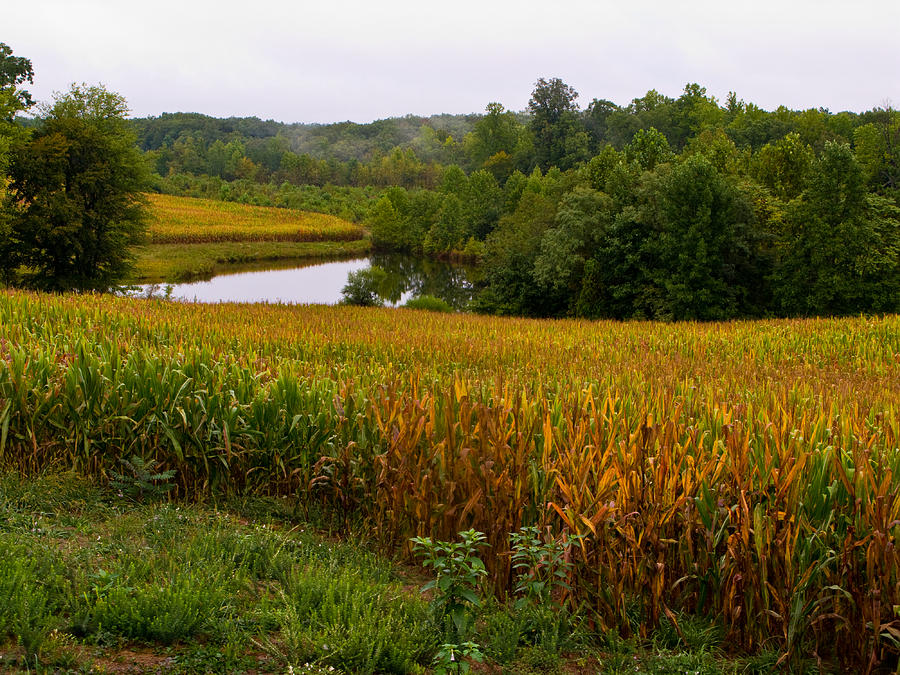 Fall Corn In Virginia Countryside Photograph  - Fall Corn In Virginia Countryside Fine Art Print