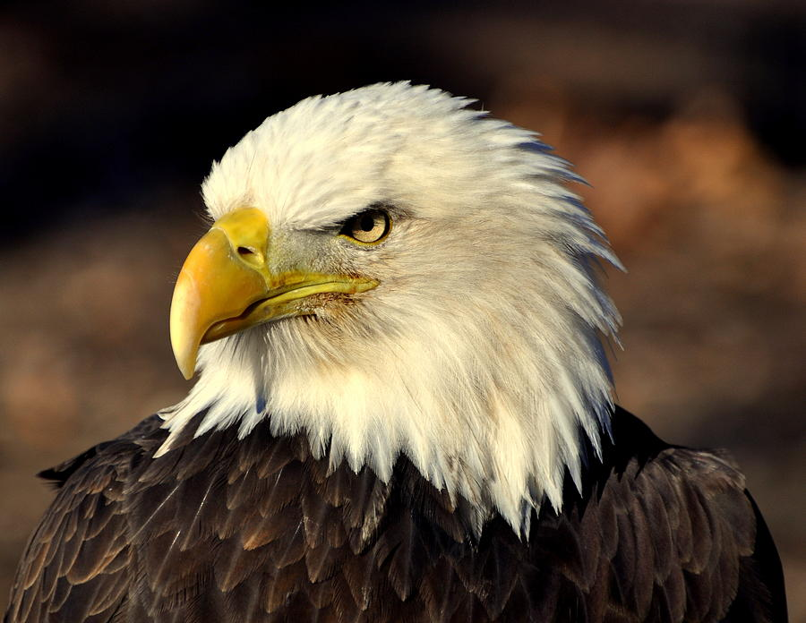 Birds Photograph - Fall Eagle 4 by Marty Koch