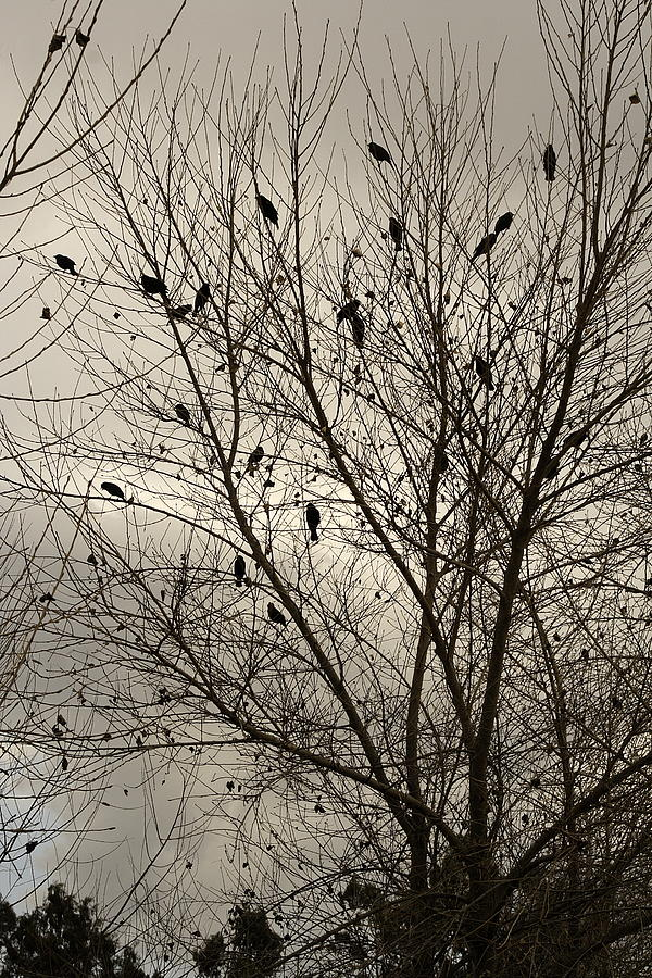 Fall. Evening.blackbirds. Photograph