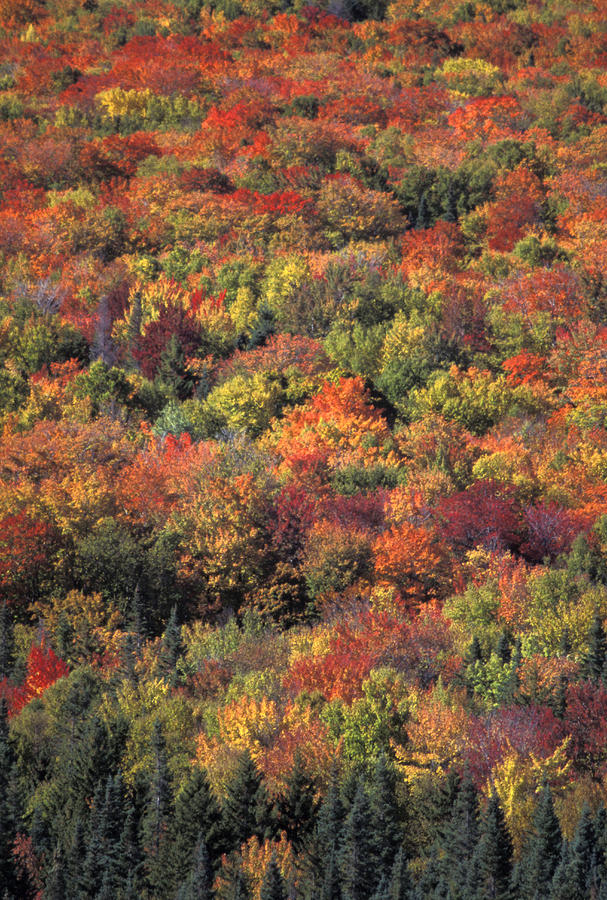 Fall Foliage In New Hampshires White Photograph