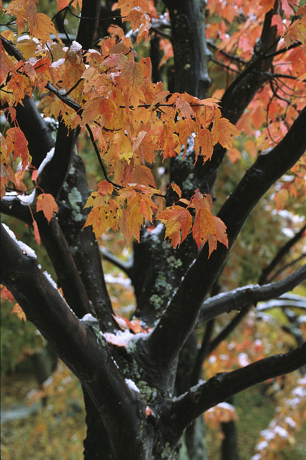 Outdoors Photograph - Fall Foliage Of Maple Tree After An by Tim Laman