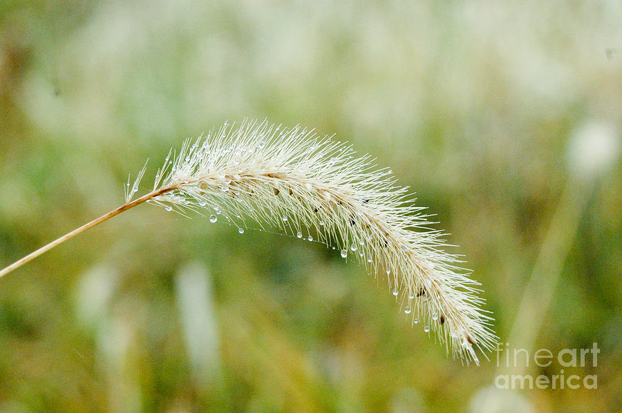 Fall Foxtail Photograph  - Fall Foxtail Fine Art Print