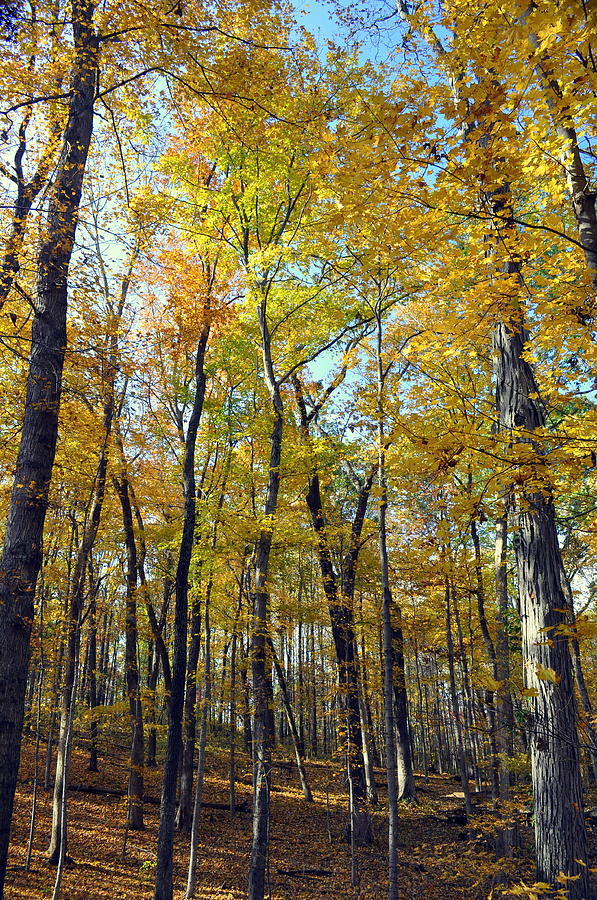 Fall In The Forest 2 Photograph  - Fall In The Forest 2 Fine Art Print