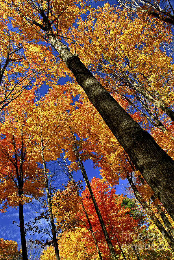 Fall Maple Trees Photograph  - Fall Maple Trees Fine Art Print