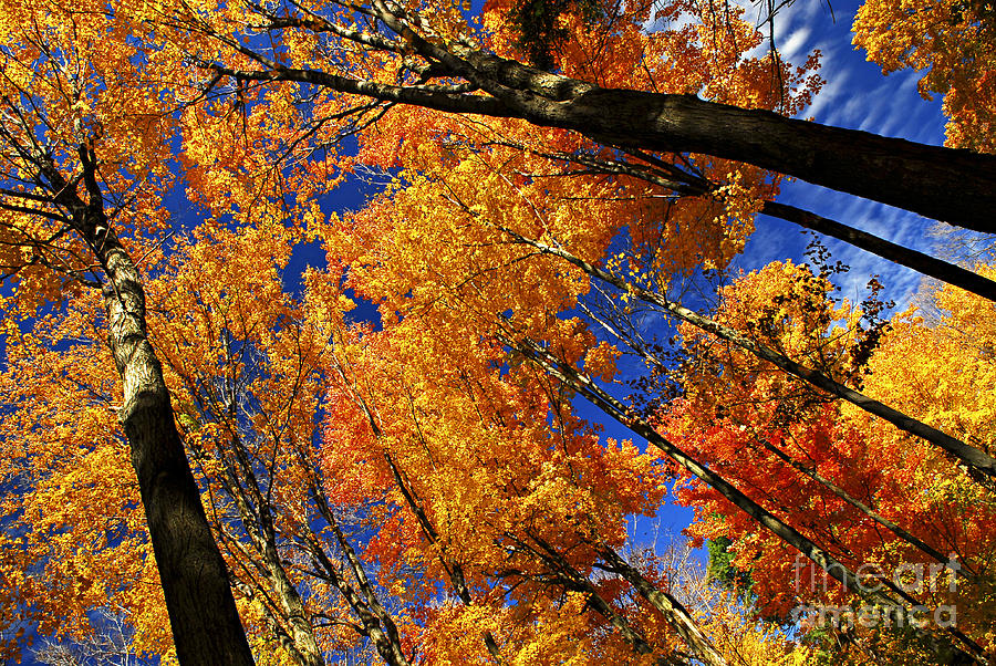 Fall Maple Treetops Photograph  - Fall Maple Treetops Fine Art Print