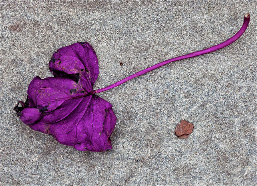Fallen Purple Leaf Photograph - Fallen Purple Leaf by Robert Ullmann