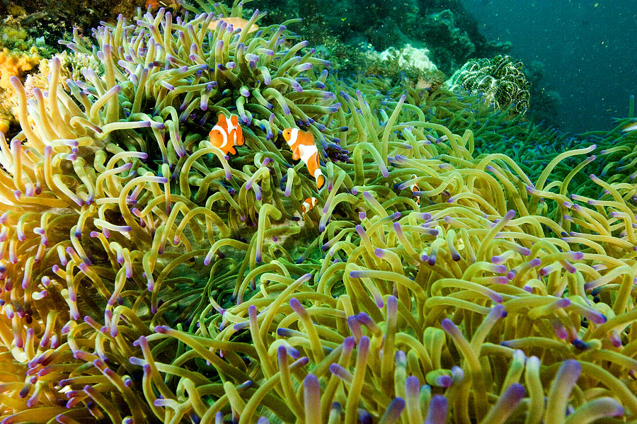 Two Animals Photograph - False Clown Anemonefish Amphiprion by Tim Laman