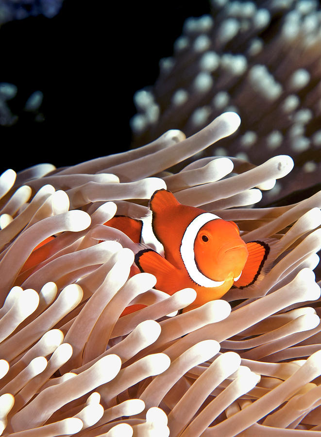 False Clown Anemonefish Photograph  - False Clown Anemonefish Fine Art Print