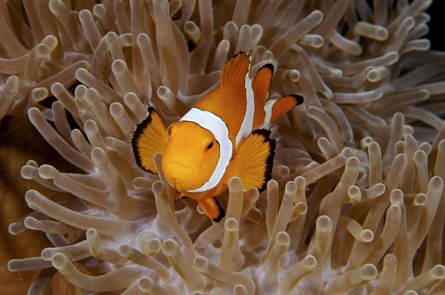 False Clownfish Photograph