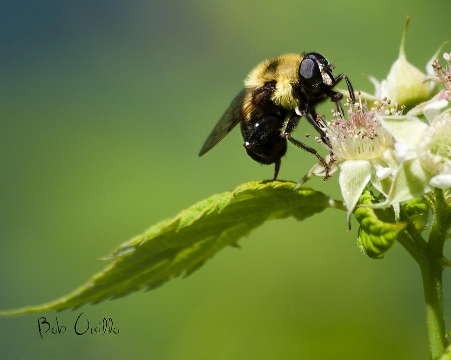 Fame Is A Bee Photograph  - Fame Is A Bee Fine Art Print