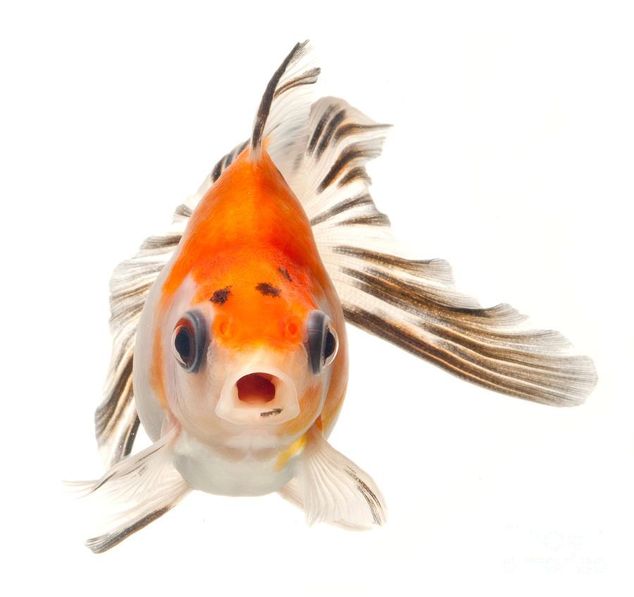 Fancy goldfish photograph fancy goldfish fine art print for The fancy fish