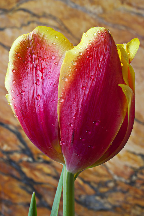 Fancy Tulip Photograph  - Fancy Tulip Fine Art Print