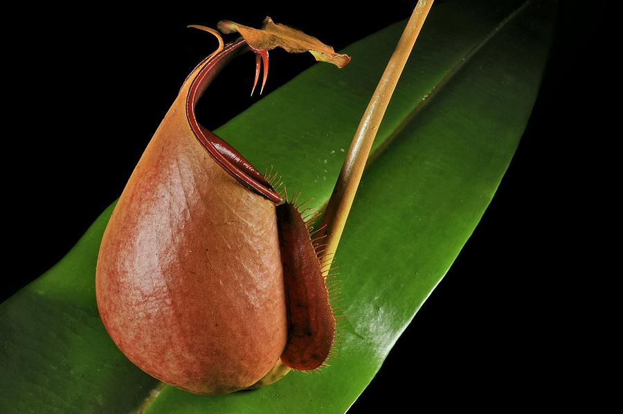 Fanged Pitcher Plant Fanged Pitcher Plant Photograph