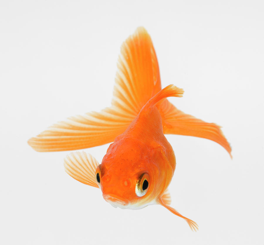 Fantail goldfish carassius auratus photograph by don farrall for Big gold fish