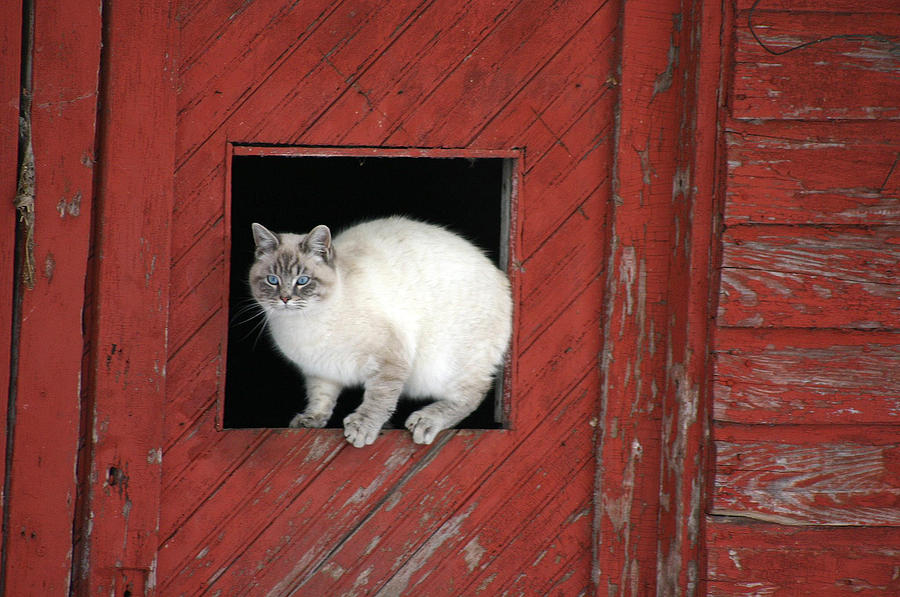 Farm Kittie Photograph  - Farm Kittie Fine Art Print