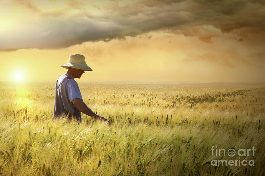Farmer Checking His Crop Of Wheat  Photograph  - Farmer Checking His Crop Of Wheat  Fine Art Print