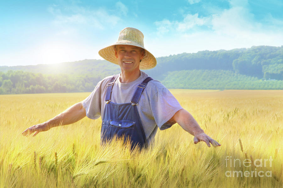 Farmer Checking Put His Crop Of Wheat Photograph  - Farmer Checking Put His Crop Of Wheat Fine Art Print