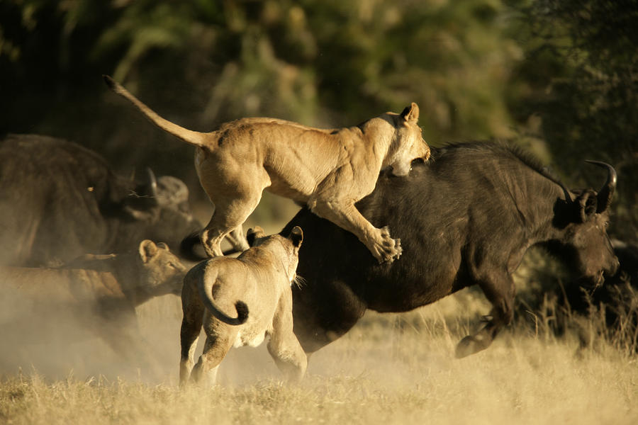 Female African Lions Pounce On An Photograph  - Female African Lions Pounce On An Fine Art Print