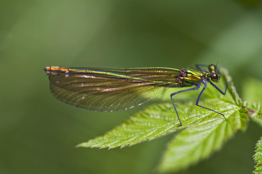 Female Banded Demoiselle Damselfly Photograph