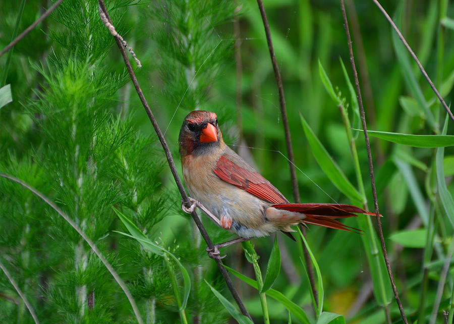 Female Cardinal - C5527a Photograph