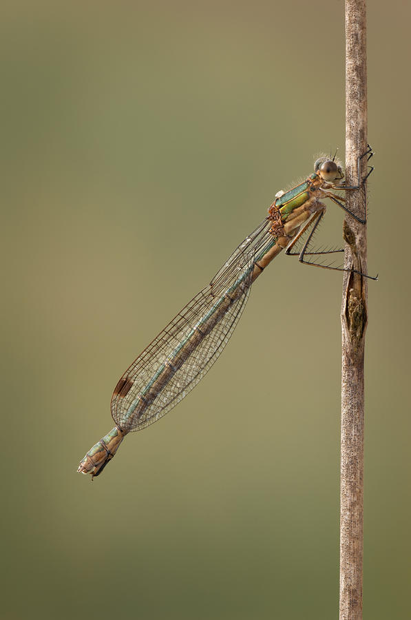 Female Emerald Damselfly Photograph  - Female Emerald Damselfly Fine Art Print