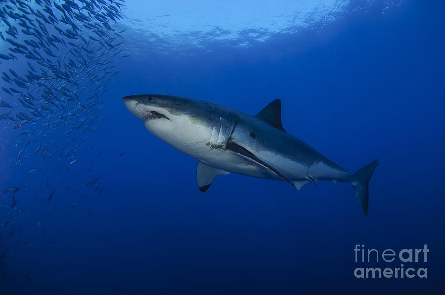 Female Great White With Remora is a photograph by Todd Winner which ...