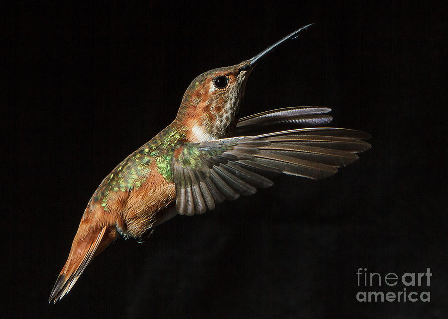 Female In Flight  II Photograph  - Female In Flight  II Fine Art Print