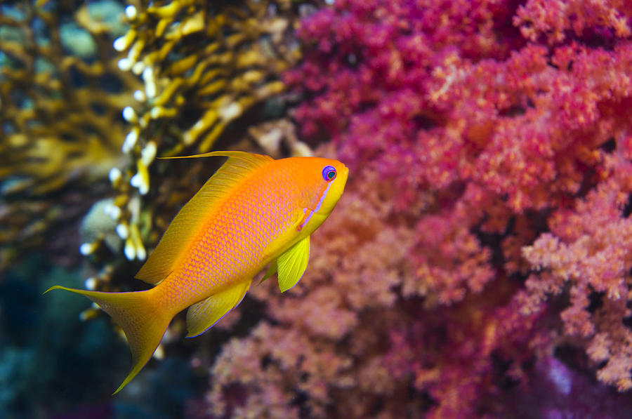 Female Lyretail Anthias Photograph  - Female Lyretail Anthias Fine Art Print