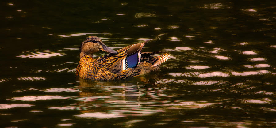 Female Mallard Duck Photograph  - Female Mallard Duck Fine Art Print