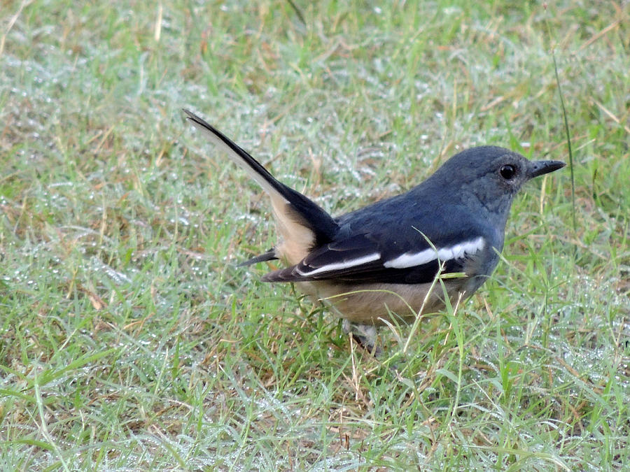 Female Oriental Magpie Robin Pyrography