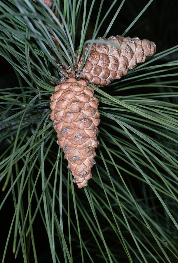 Female Pine Cones Photograph  - Female Pine Cones Fine Art Print